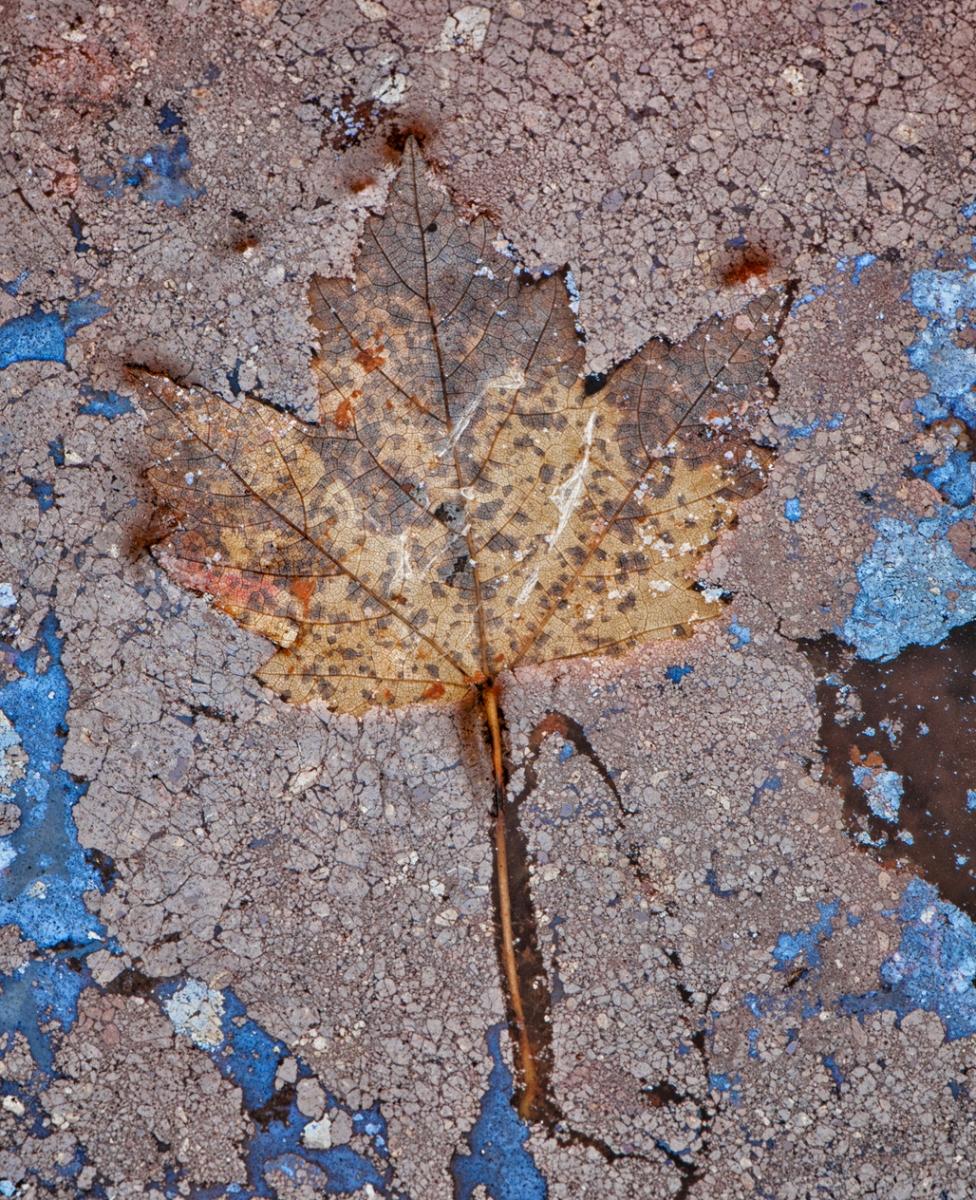 Advanced-Moss-Fallen_Maple_Leaf