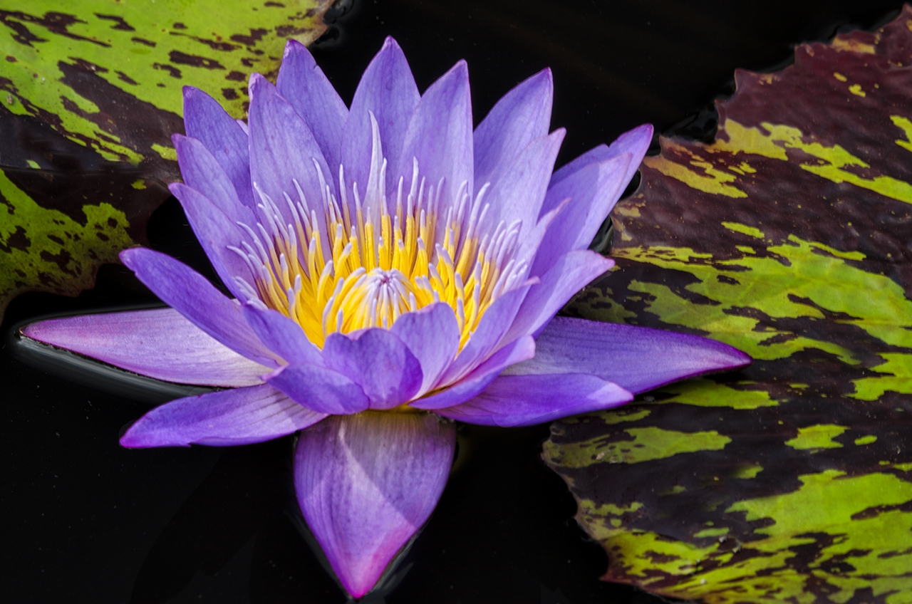 D7000-Longwood_Waterlilies-1480-2016-07-01