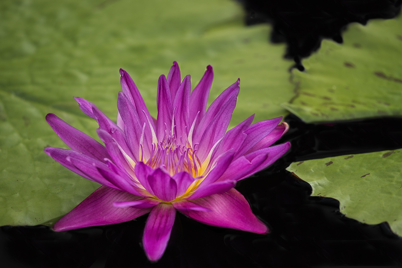 D800-Longwood_Waterlilies-5921-2016-07-01