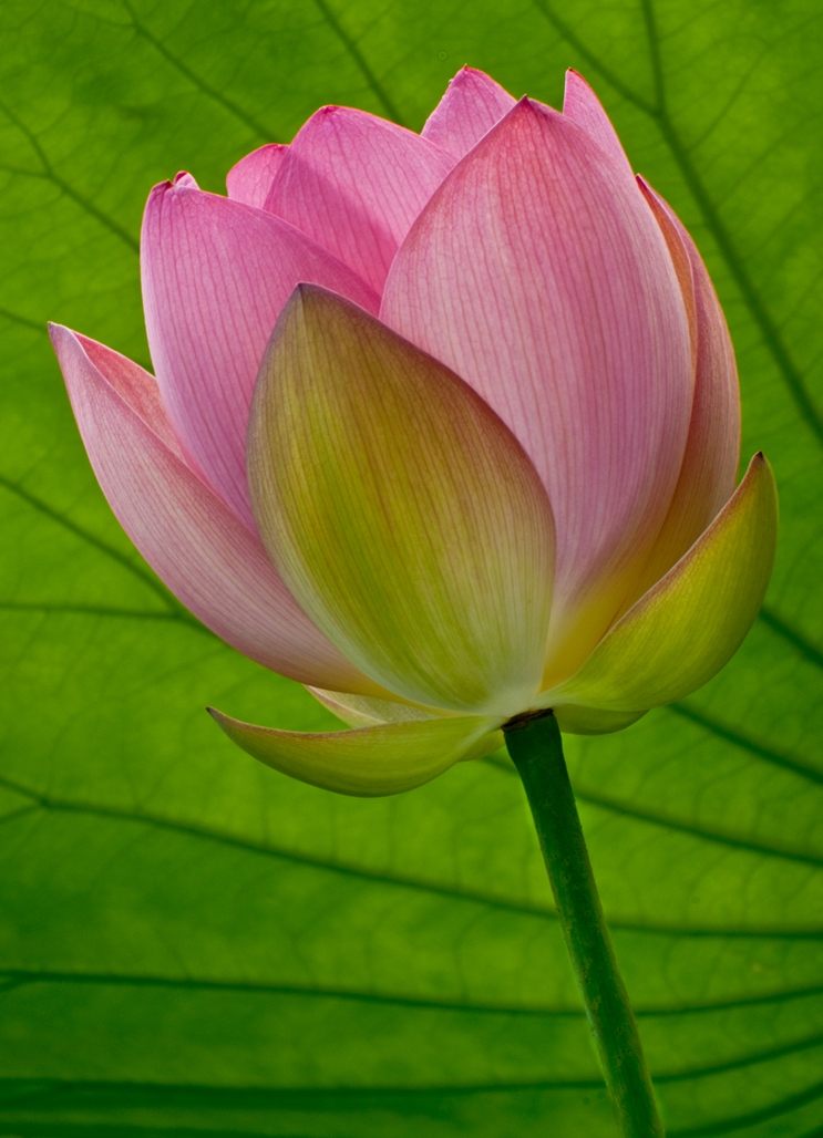 Spring-Lotus-enhanced1
