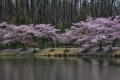 Advanced-Moss-Meadowlark_Cherry_Blossoms