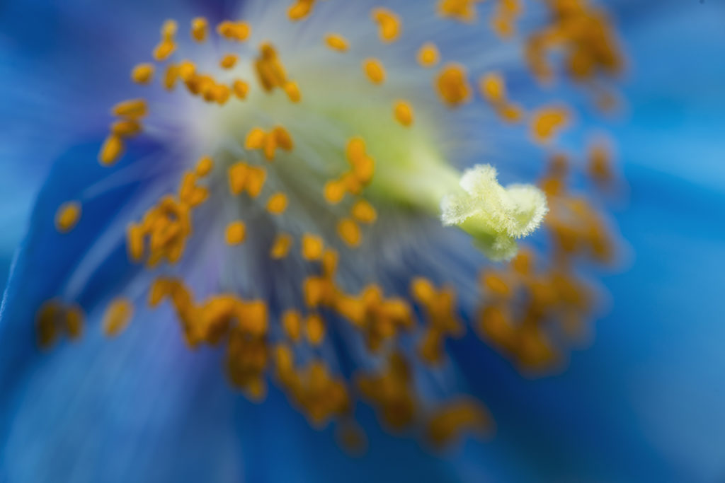 D800-Blue Poppies-0997-2014-03-14