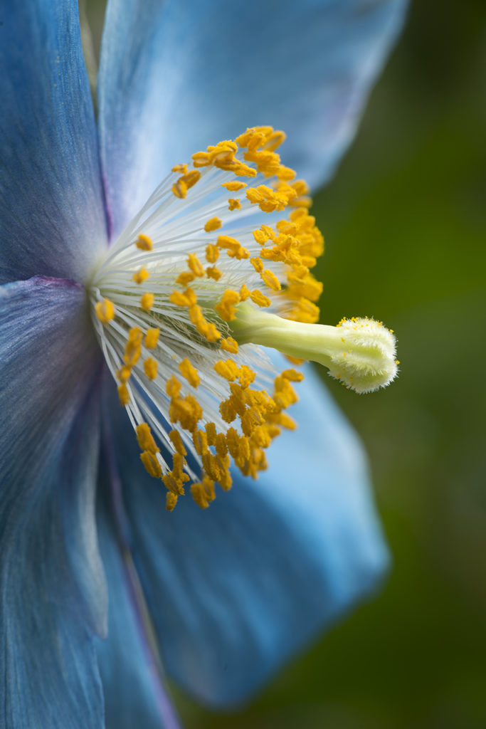 D800-Blue Poppies-1029-2014-03-14